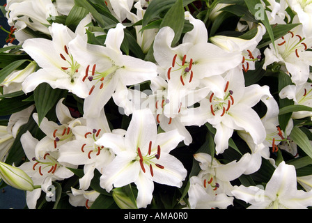 Lily white genre frontière fleurs jardin divers chef bud bunch England UK Royaume-Uni GB Grande-bretagne Union Européenne UE Photo Stock