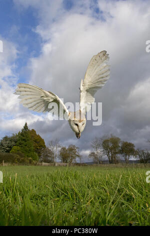 Effraie des clochers (Tyto alba), adultes, plongée vol vers les proies dans l'herbe, Cumbria, Peak District, England, UK, novembre, contrôlée sous réserve Photo Stock