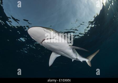 Le requin soyeux (Carcharhinus falciformis, Soudan) Photo Stock