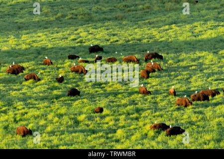 Les vaches avec egtrets sur leur dos. Kauai, Hawaii Photo Stock