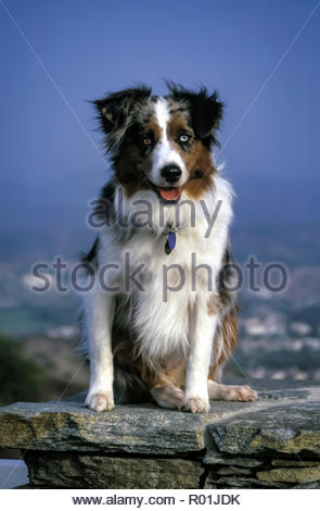 Le chien de berger australien assis sur mur de pierre Un œil bleu et un œil bleu et brun ½ ½. © Myrleen ............Pearson Ferguson Cate Photo Stock