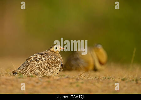 Francolin gris Ranthambhore national park, Rajasthan, Inde, Asie Photo Stock