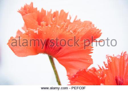 Une fleur de pavot. Photo Stock