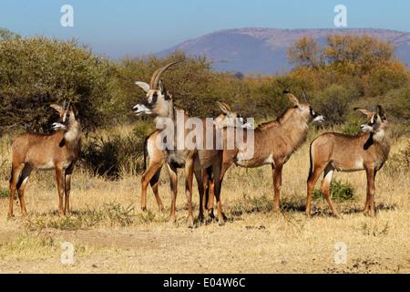 L'antilope rouanne (Hippotragus equinus).Groupe de femelles et de juvéniles.Afrique du Sud Photo Stock