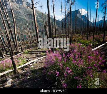 Le Glacier National Park, Montana. Fleur alpine Photo Stock