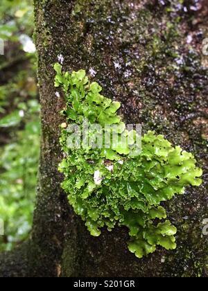 Lichen vert clair sur un arbre Photo Stock