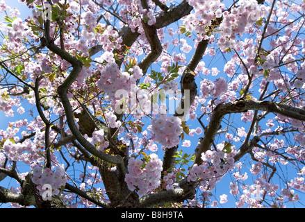 Fleurs rose au printemps de retour avec un fond de ciel bleu Photo Stock