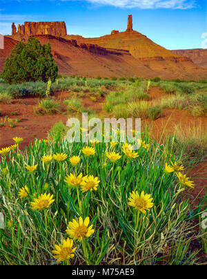 Les oreilles de mulet fleurs, Castle Rock, de l'Utah près de Castle Valley, Colorado River, Moab Photo Stock