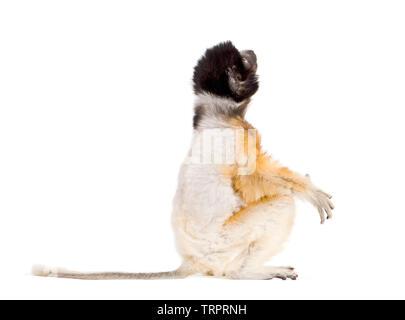 Soa, 4 mois, Sifaka couronné assis contre fond blanc Photo Stock