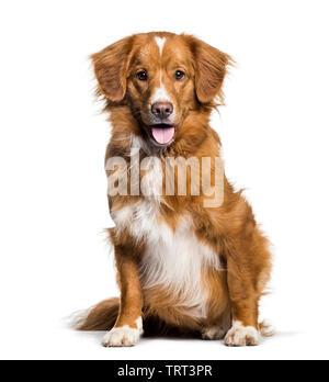 Haletant Toller, 2 mois, assis contre un fond blanc Photo Stock