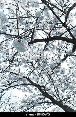 Fleurs blanches au printemps Photo Stock