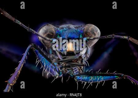 Paon bleu Tiger Beetle, sous-famille des Cicindelinae 5X Photo Stock