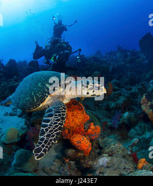 Les amateurs de plongée sous-marine avec la tortue imbriquée Photo Stock