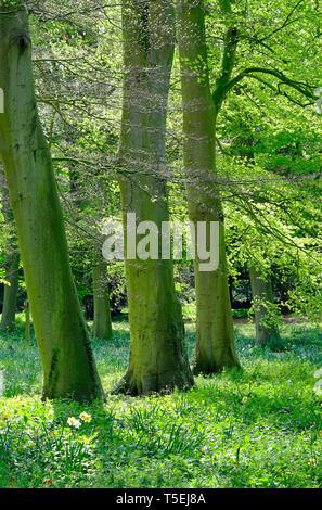 Ormes avec des feuilles vert printemps, Norfolk, Angleterre Photo Stock