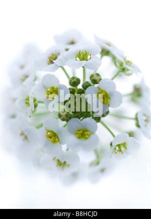 Close up/macro photo de fleur blanche tourné en studio sur un fond blanc. Photo Stock