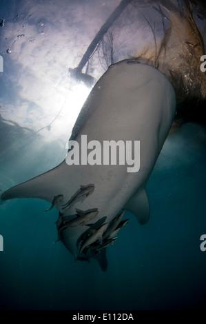 Requin-baleine sous les filets du bagan (bateau de pêche avec filets et plate-forme), Baie Cenderawasih, Guinée (Rhincodon typus) Photo Stock