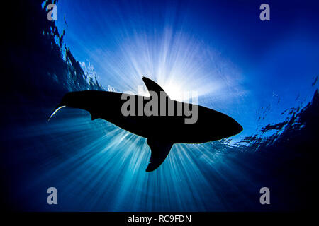 Le grand requin blanc, Guadalupe, Mexique Photo Stock
