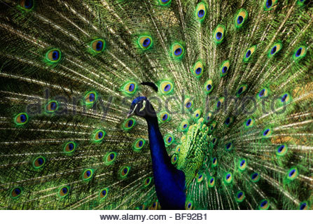 Peacock (paons indiens) masculin afficher, Pavo cristatus. Photo Stock
