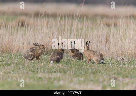 Lièvre d'Europe (Lepus europeaus) 4 adultes, 3 mâles et femelles sur les pâturages marsh, Suffolk, Angleterre, Mars Photo Stock