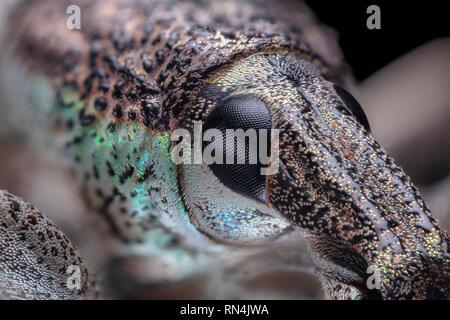 Œil composé, charançon, Rhinoscapha dohrni 5X Photo Stock