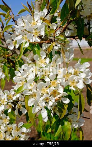 Poire, en hiver, fleurs nelis Norfolk, Angleterre Photo Stock