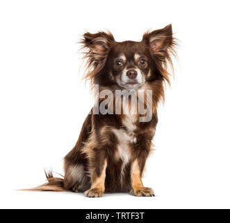 Chihuahua sitting against white background Photo Stock