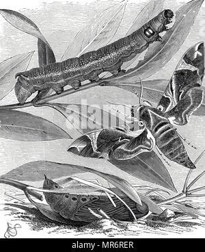 Gravure illustrant le cycle de vie d'un daphnis nerii, l'oleander hawk-moth ou vert armée, est une espèce d'amphibien de la famille des Hylidés. En date du 19e siècle Photo Stock
