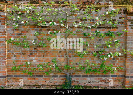 L'espalier apple tree, l'peasgood nonsuch, Norfolk, Angleterre Photo Stock