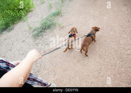 Une personne qui marche deux teckels sur un sentier. Photo Stock