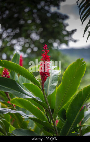 Alpinia purpurata Hanalei, Kauai, Hawaii, gingembre rouge, Photo Stock
