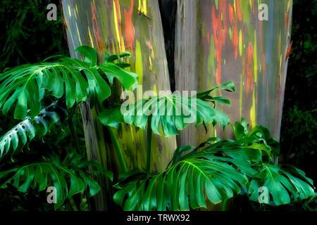 Close up of split leaf philodendron. et peint. d'eucalyptus centenaires. Mauai, New York Photo Stock
