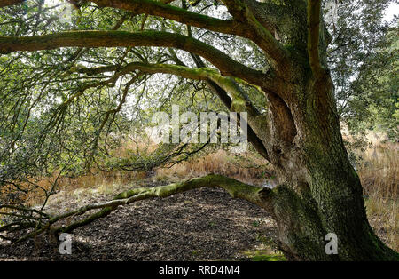 Holm Oak tree, holkham estate, North Norfolk, Angleterre Photo Stock