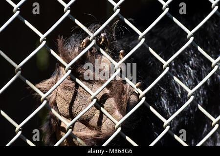 L'ours noir en captivité l'île de Vancouver, BC, Canada. L'ours est domestiqué et incapable Photo Stock