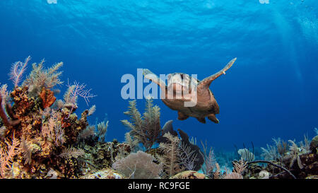 Les tortues caouannes, Cayman Palms, Cayman Islands Photo Stock