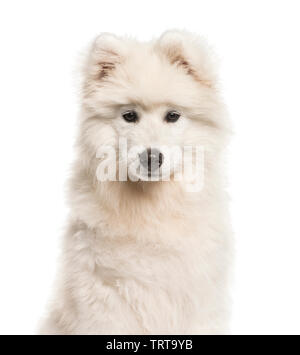 Samoyède chien, âgé de 4 mois, in front of white background Photo Stock