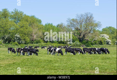 Troupeau de vaches en noir et blanc dans un champ à l'herbe de pâturage au printemps dans le West Sussex, Angleterre, Royaume-Uni. Photo Stock