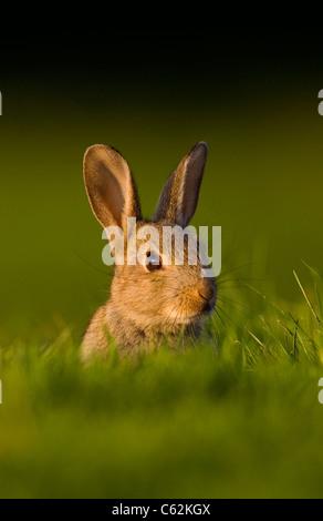 Lapin Oryctolagus cunniculus dans les derniers rayons de lumière du soir un jeune lapin est assis près Photo Stock