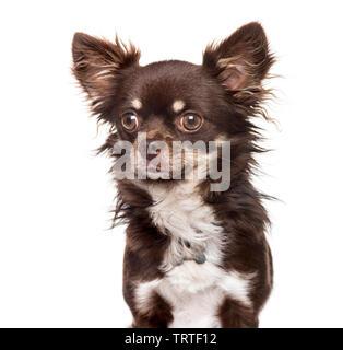 Chihuahua contre fond blanc Photo Stock
