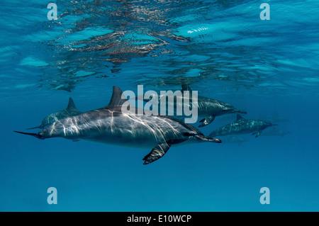 Un dauphin commun près de la surface, l'Égypte (Delphinus delphis) Photo Stock