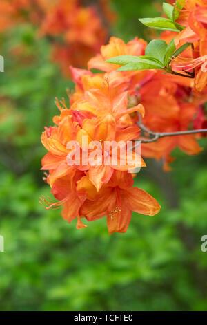 Rhododendron 'Golden sunset' la floraison au printemps. UK. Photo Stock
