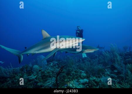 Plongeur avec requin de récif des Caraïbes. Photo Stock