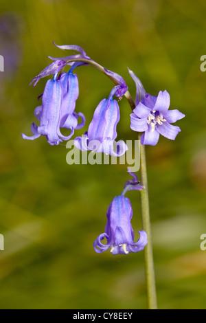 Bluebells à Portglenone Forest Park dans le comté d'Antrim, en Irlande du Nord. Photo Stock