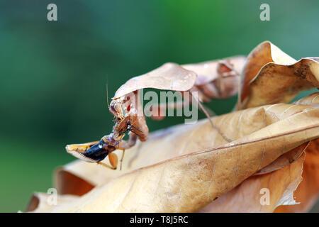 Feuille morte camouflage mantis sur les feuilles séchées avec les proies, l'Indonésie Photo Stock