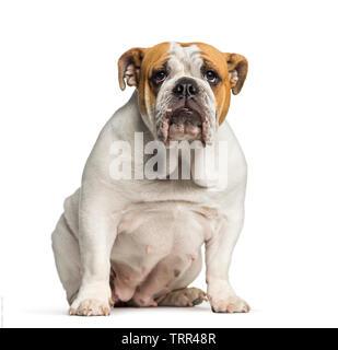British Bulldog, Bulldog Anglais, à l'âge de 10 mois, in front of white background Photo Stock