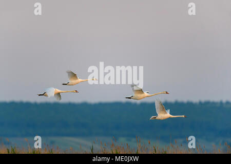 Groupe de quatre cygnes tuberculés (Cygnus olor) en vol sur le lac Neusiedl en Burgenland, Autriche Photo Stock
