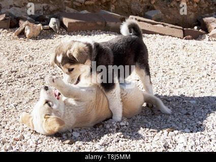 Deux chiens jouant, Jordanie Photo Stock