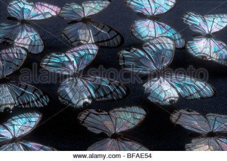 Aile en verre papillons, Dulcedo polita, Institut National de la biodiversité, le Costa Rica Photo Stock