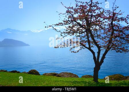 Arbre en fleurs par un lac alpin, le lac de Lucerne, Suisse Photo Stock