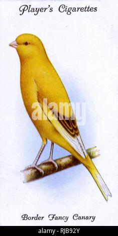 Border Fancy Canary. Photo Stock