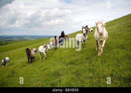 Chevaux et poneys en itinérance sur les South Downs. Photo Stock